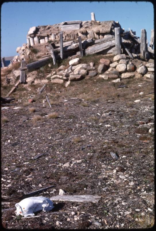 North end of Cape Parry, whaler's hut - polar bear skull (Sept '76)0.jpg