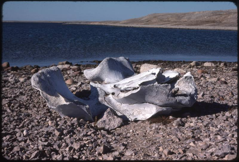 North end of Cape Parry, whaler's site - bowhead skull bone (Sept '76)0.jpg