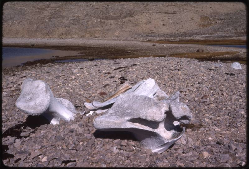 North end of Cape Parry, bowhead skull (Sept '76)0.jpg