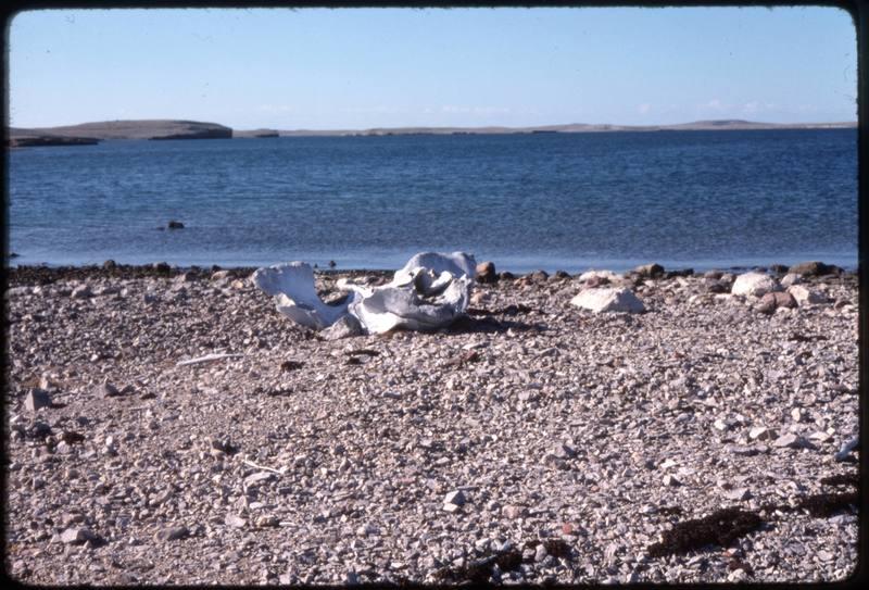 North end of Cape Parry, bowhead skull bone (Sept '76)0.jpg