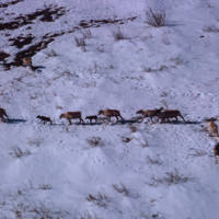 Aerial Photograph of Reindeer Herd