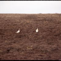 20 miles west of Smoking Hills - Ptarmigan (July '74)0.jpg