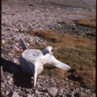 North end of Cape Parry, bowhead vertebra (Sept '76)0.jpg