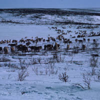 Reindeer Herd Wondering by a Lake
